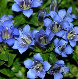 Enzian - Heilpflanze