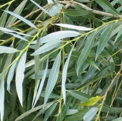 Weiße Weide - natürliches Antiseptikum