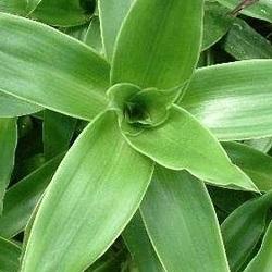 Goldener Schnurrbart - Pflanze mit antimikrobieller Wirkung
